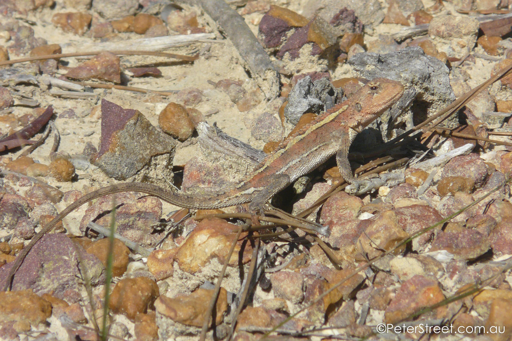 Mountain Heath Dragon, Rankinia diemensis