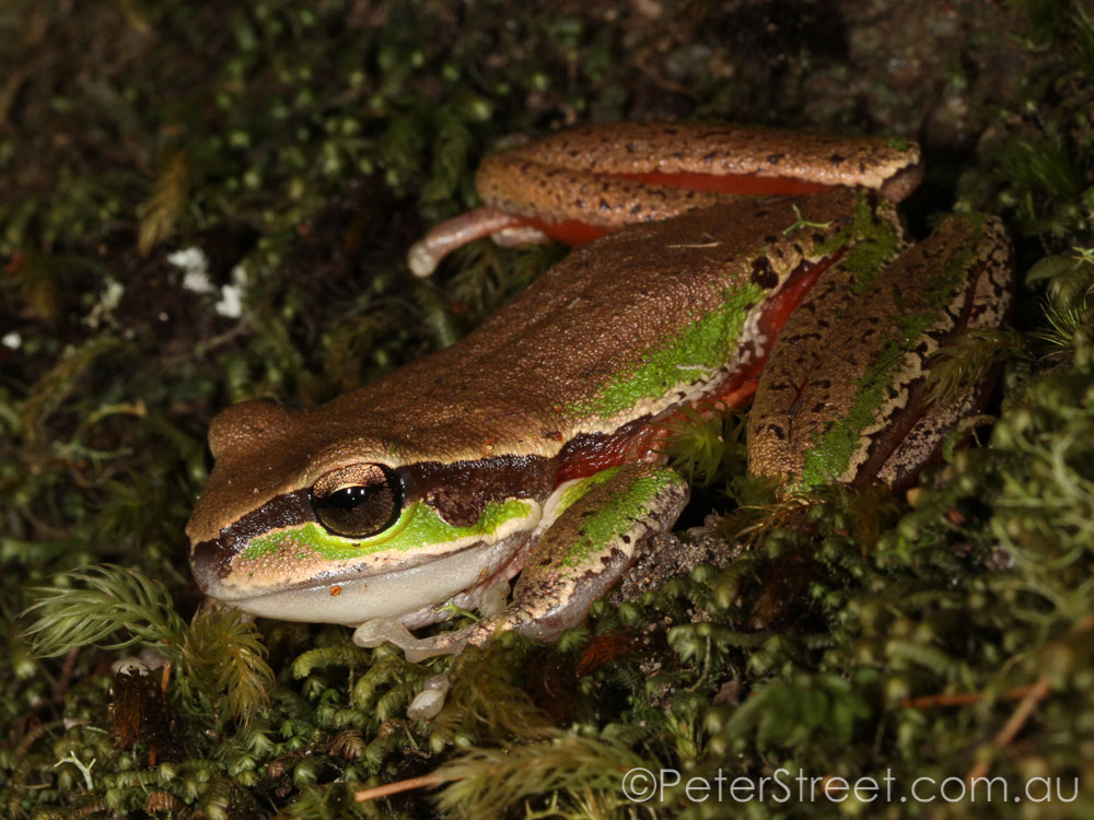 Blue Mountains Tree Frog, Litoria citropa