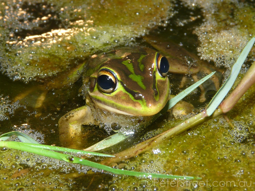 Green & Golden Bell Frog, Litoria aurea