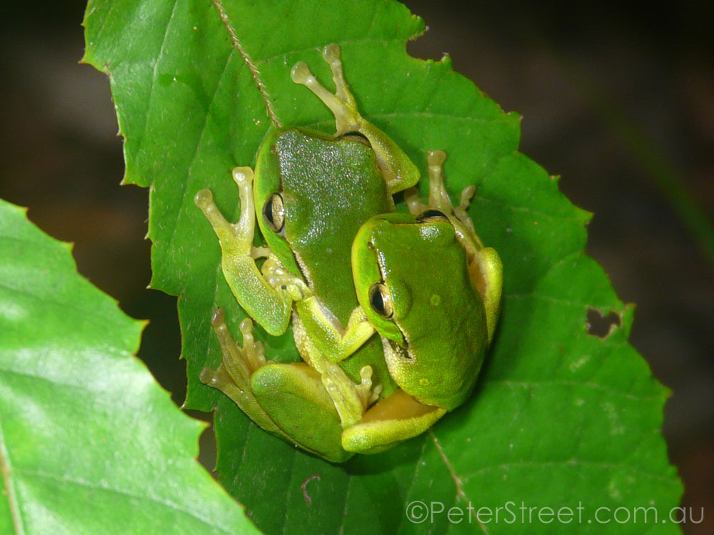 Leaf Green Tree Frog, Litoria phyllochroa