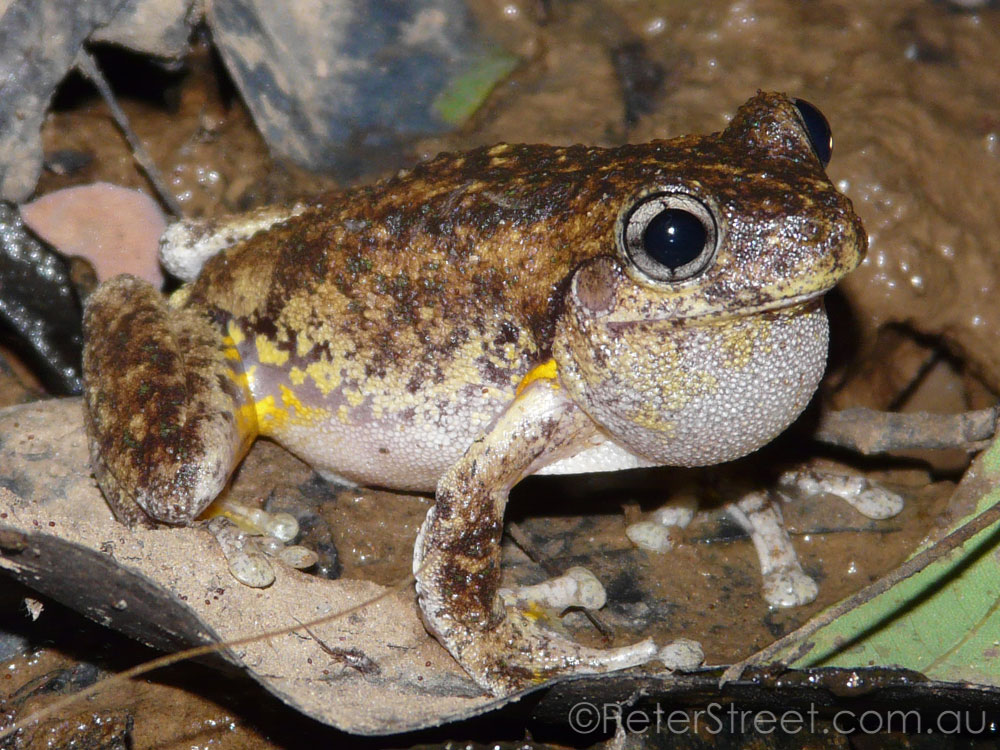 Peron's Tree Frog, Litoria peronii
