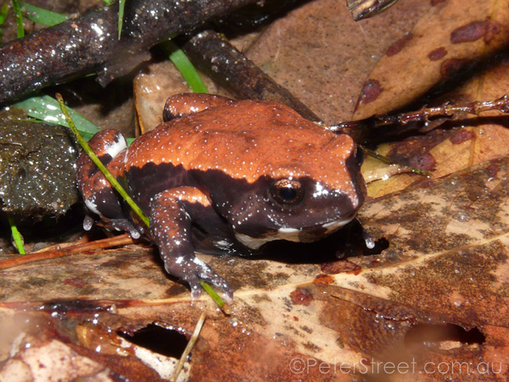 Red-Backed Toadlet, Pseudophryne coriacea