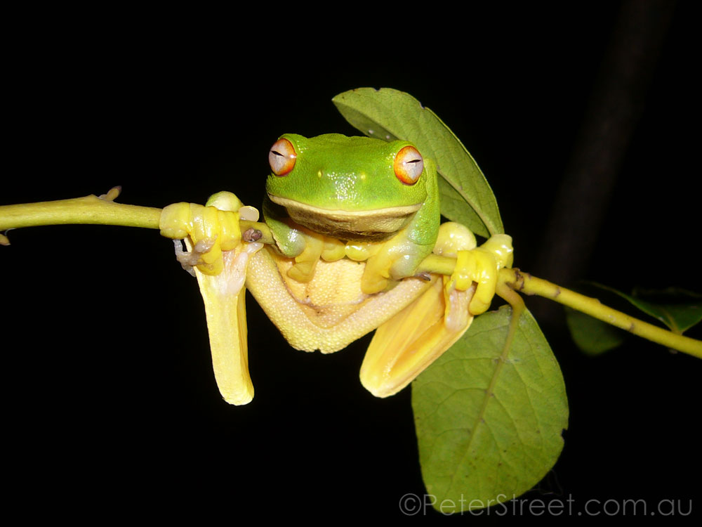 Red-Eyed Green Tree Frog, Litoria chloris