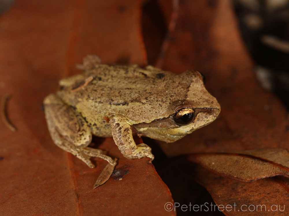 Whistling Tree Frog, Litoria verreauxii